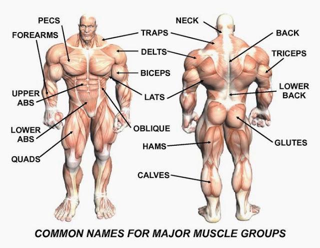 63988-musclenames